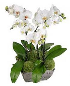 Beyaz Orkide