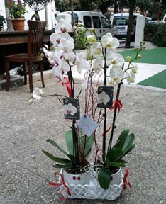 Kırmızı Kurdeleli Orkide