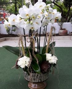 Orkide grubu Arajman