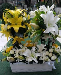 Sarı ve Beyaz Lilyum